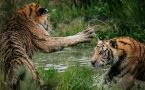 Two tigers fighting and swiping at each other.