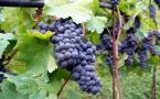 purple grapes growing on the vine