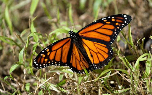 Monarch butterfly with wings flared.