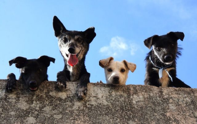 Four small dogs look down at camera from over a wall
