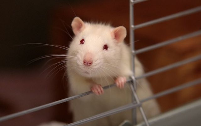 Albino rat escaping from its cage