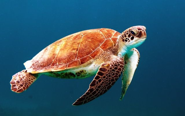 Sea turtle floating and looking directly at camera.