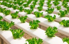 Young lettuce plants growing in hydroponic system rows