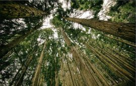 upward view of forest rees