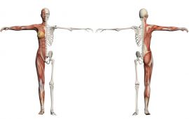 Front and back view of a muscle and skeleton female body.