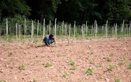 Man hunched over picking crops in an arid field.