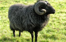 black ram with large horns