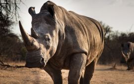 Face-on shot of rhino